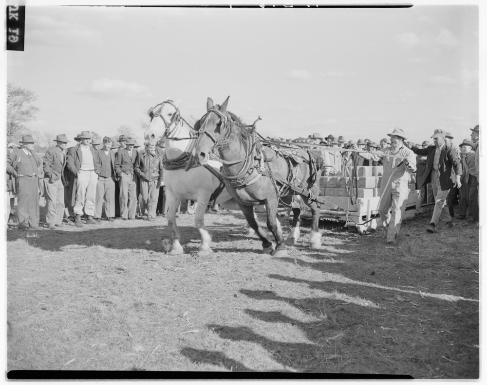 Scenes as Iroquois Hunt Club sponsors horse show, horse pulling contest, and beef barbecue October 12, 1946 at W.…